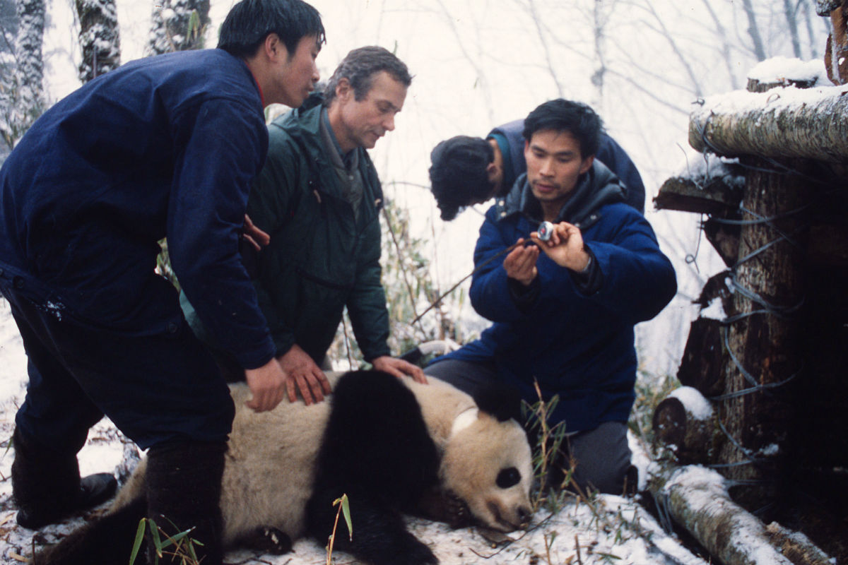 1984唐家河从左到右giant panda xue   xue  george b. schaller   wwf